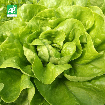 Salade laitue beurre pommée bio