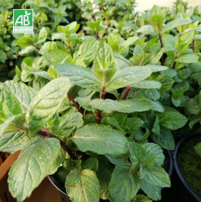 Plants en pot menthe poivrée bio