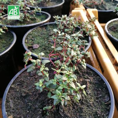 Plants en pot Thym bio commun