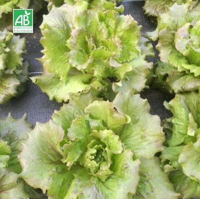 Salade batavia Magenta