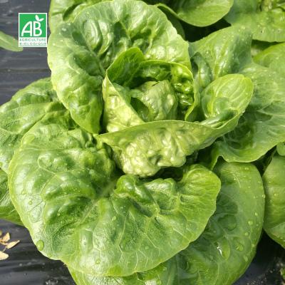 Salade sucrine bio