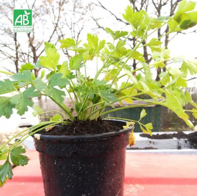Plants en pot persil bio