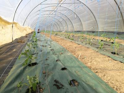 plantation_tomates_bio