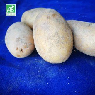 pomme-de-terre-APOLO-bio