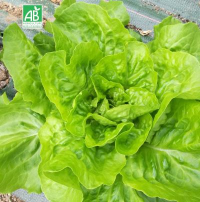 Salade Laitue-bio
