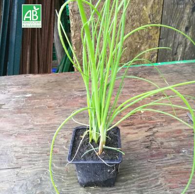 Plant-ciboulette-bio