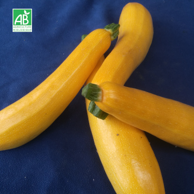 Courgette-jaune-bio